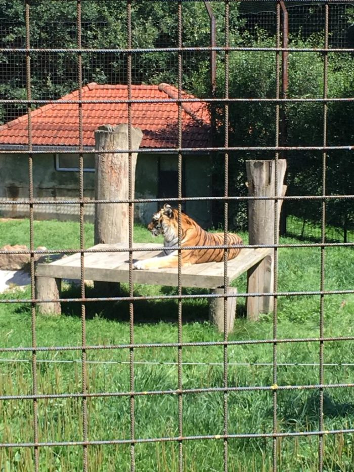 ZOO Dvorec tygr