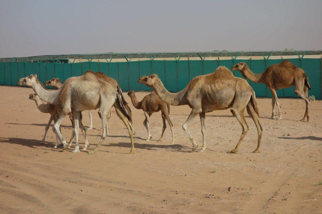 Velbloudi - Dubaj