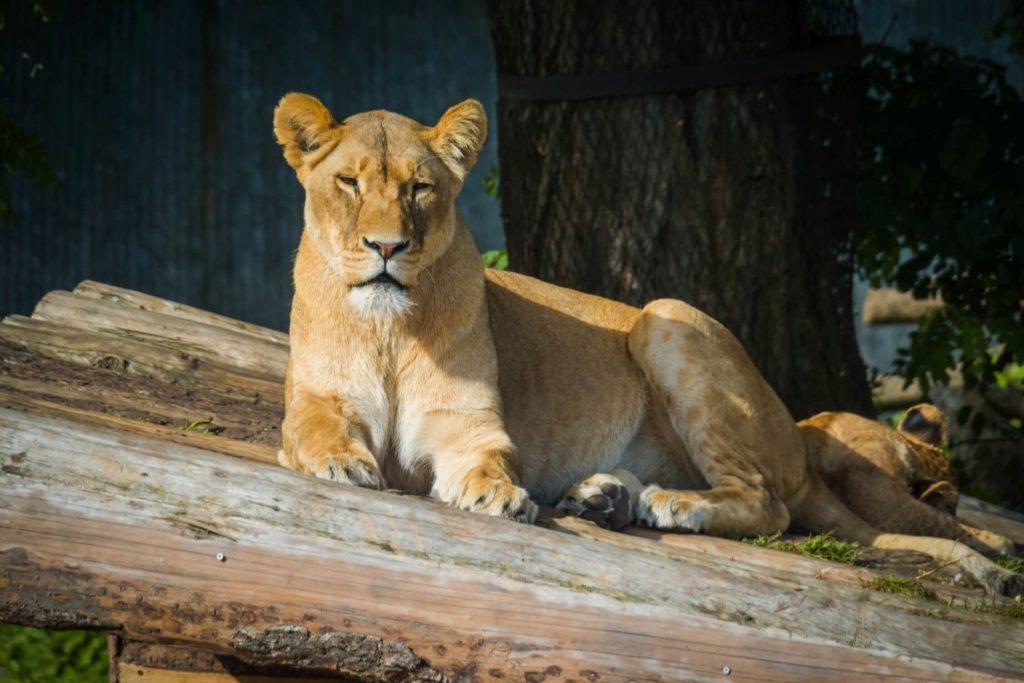 Zoo Kodaň lvice