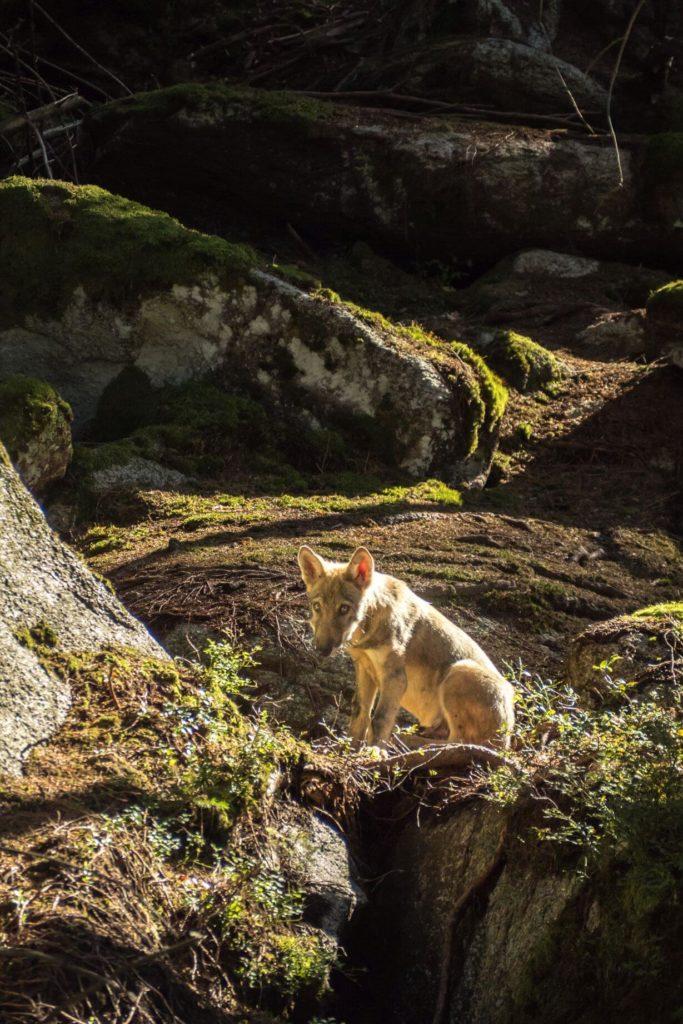 Vlčí výběh Srní - vlk na Slunci