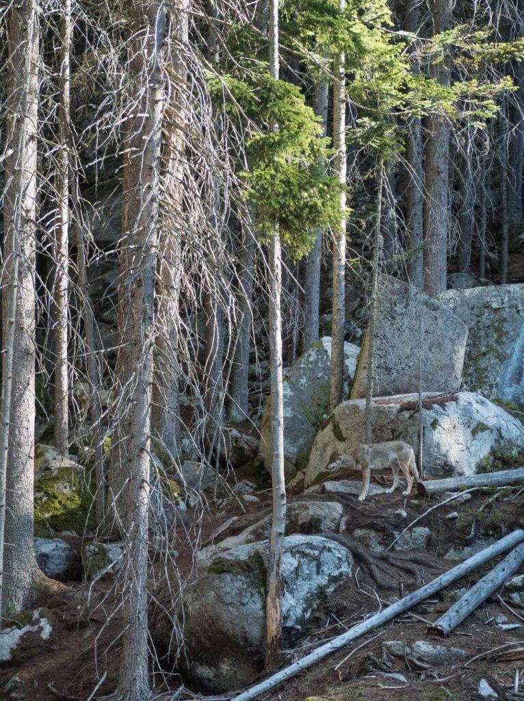 Vlci v Srní na Šumavě
