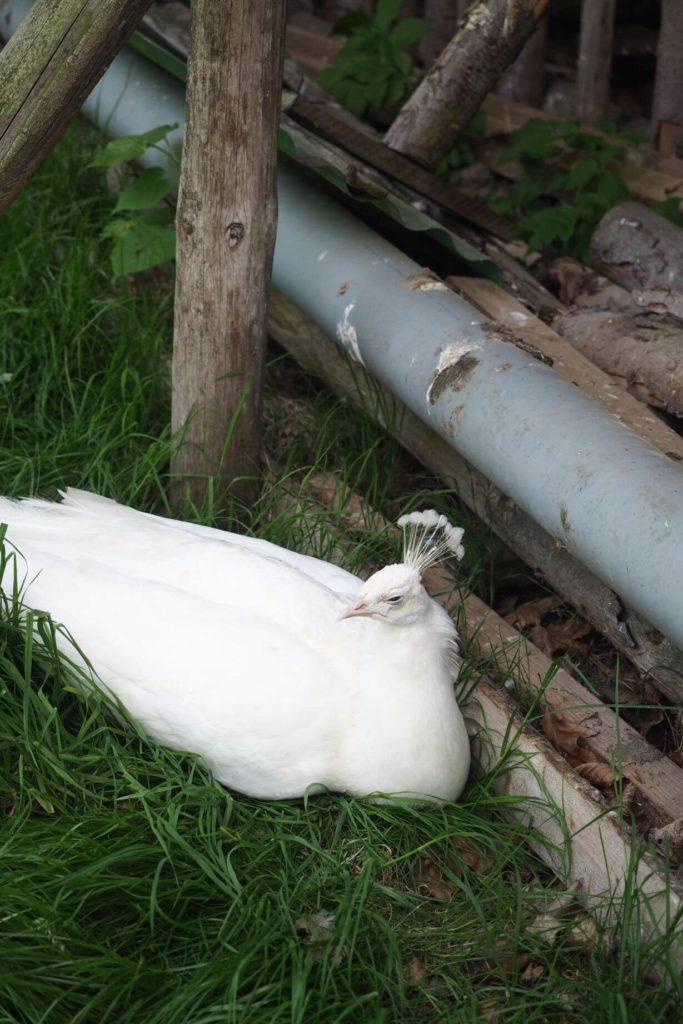 Bílý páv Blatná
