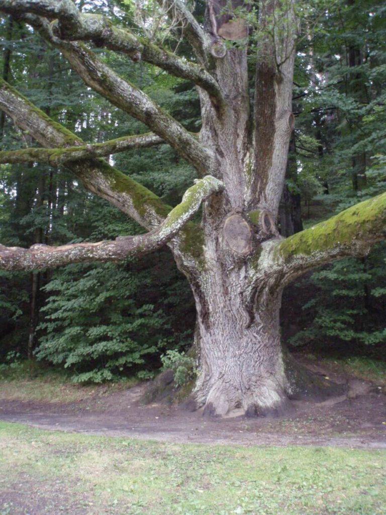 Tereziino údolí památný strom