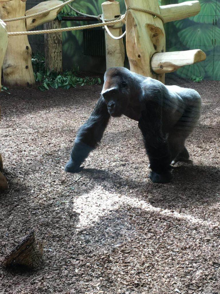 Dvůr Králové gorila