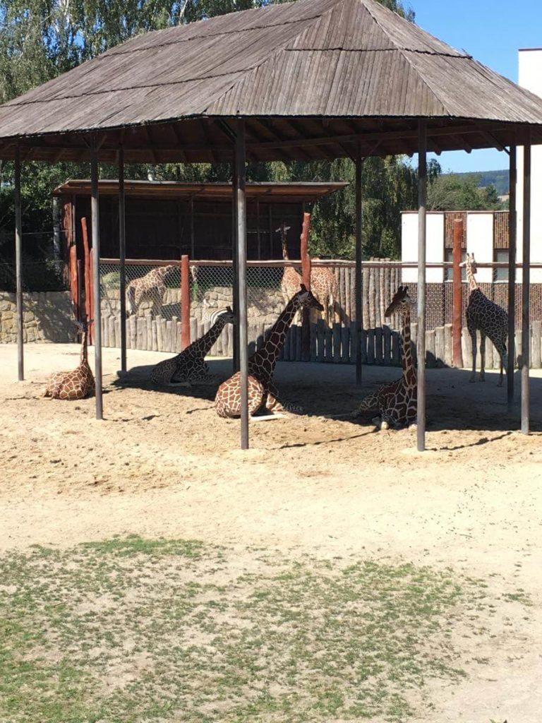 Dvůr Králové žirafy