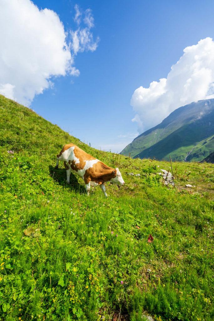 Alpská kráva