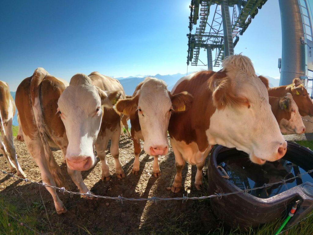 Alpské krávy