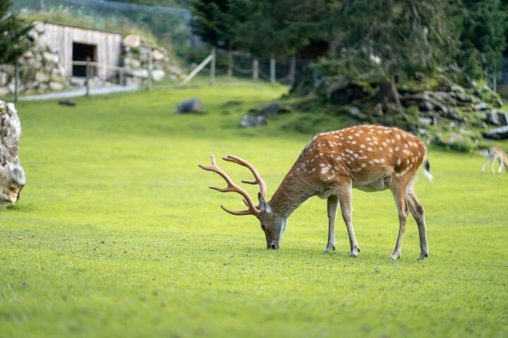Ferleiten jeleni