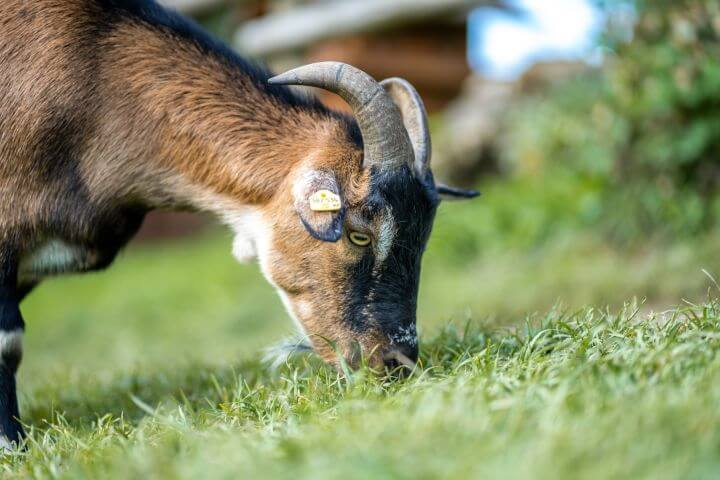 Ferleiten ovce