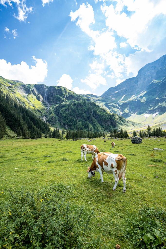 Hintersee kráva