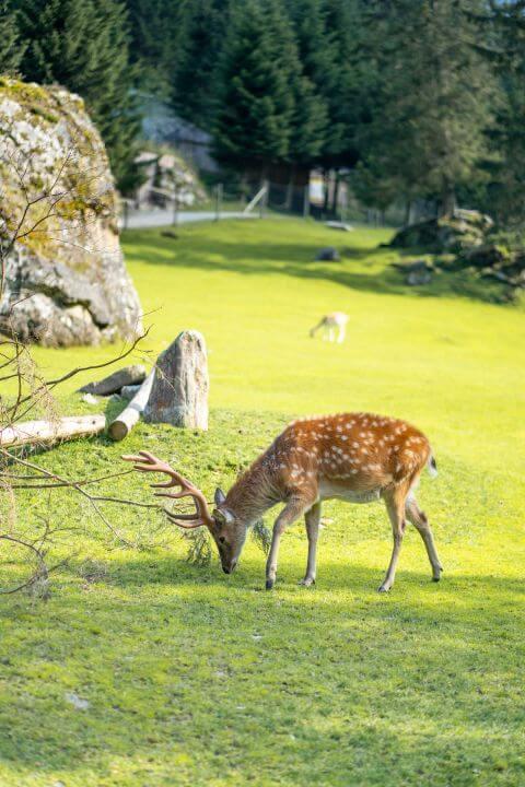 Jelen v parku Ferleiten
