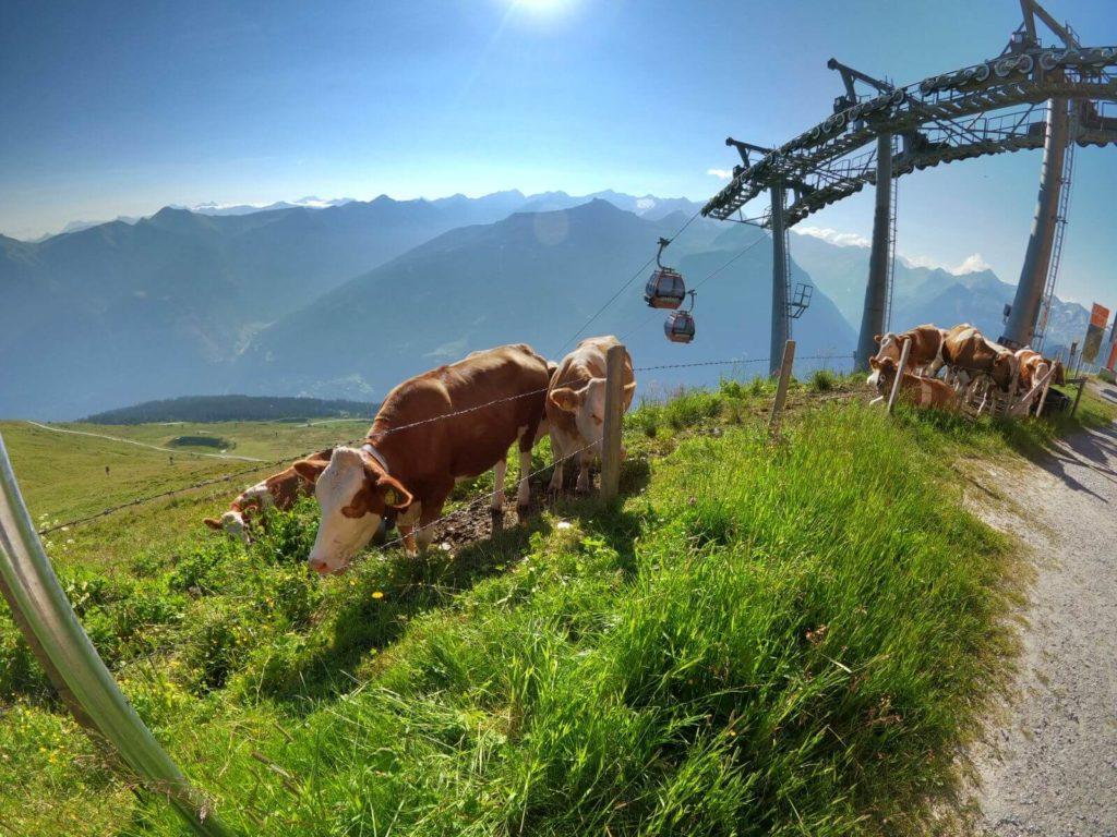 Krávy Bad Gastein