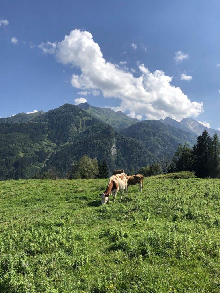 Krávy na Maiskogel