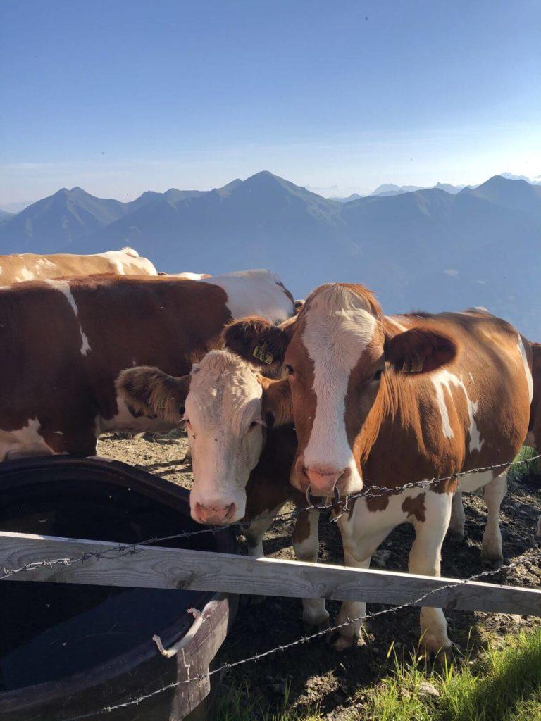 Krávy Stubnerkogel