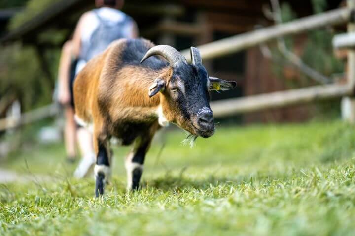 Ovce Ferleiten